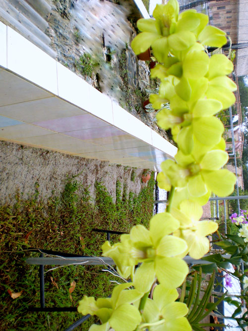 Yellow Orchid.jpg